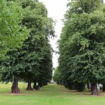 A recent tree services job completed in London - Shows a row of trees to be pruned